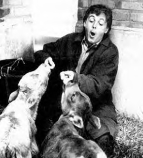The horrific cow attack that left the real Paul McCartney without hands.